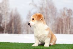 Cute red welsh corgi pembroke puppy on the grass, walk outdoor, having fun in white snow park, winter forest, run through the snow. Concept purebred dogs stock photography