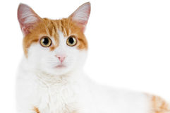 Cute red and white cat isolated Royalty Free Stock Photo