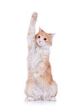Cute red and white cat waving Stock Image