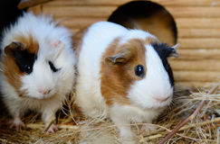 Cute Red and White Guinea Pig Close-up. Pet in its House royalty free stock photos