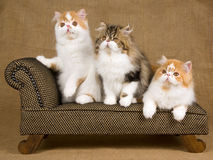 Cute red and white Persian kittens on brown chair. Pretty and cute red and white Persian kittens sitting on miniature brown chair, against hessian burlap royalty free stock images