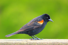 Cute Red Winged black bird. A cute red winged black bird on a fence Stock Images