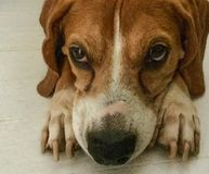 Cute reddish brown Beagle lying thoughtfully on the floor royalty free stock photo