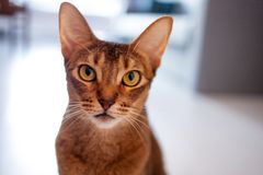 Cute redhead Abyssinian sitting on the floor in the apartment. stock photos