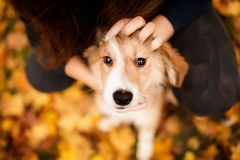 Cute redhead border collie puppy portrait his people look stock images