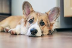 Cute little redhead Corgi puppy is lying on the floor and looking dreamy and with sad eyes royalty free stock image
