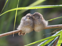 Cute Reed Warblers. 2 young Reed Warbleres hugging eachother, aint they cute royalty free stock images