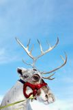 Cute reindeer Royalty Free Stock Images