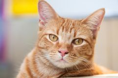 Cute and relaxed cat looks to the camera royalty free stock photography