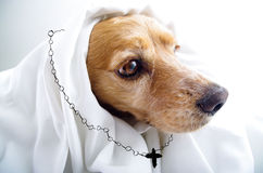 Cute religious thoughtful English Cocker Spaniel Royalty Free Stock Images