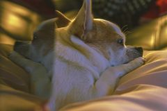 Cute resting chihuahua with reflection royalty free stock photos