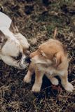 Cute retriever puppy playing with bulldog, funny moments on back royalty free stock images