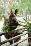 A cute rhinoceros in the zoo which has many animals. A cute rhinoceros or rhino or rhinocerotidae enjoy eating his food from visitor in the zoo which has many stock image