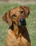 Cute Rhodesian Ridgeback. A beautiful cute face with sad expression of a Rhodesian Ridgeback hound dog head portrait - national dog of South Africa - watching Stock Photo