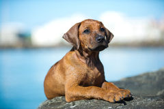 Cute rhodesian ridgeback puppy at the sea Royalty Free Stock Images
