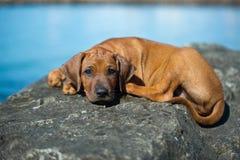 Cute rhodesian ridgeback puppy at the sea Royalty Free Stock Photos