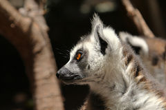 Cute ring-tailed lemurs. On dark background stock photos
