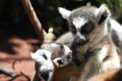 Cute ring-tailed lemurs. On dark background stock image
