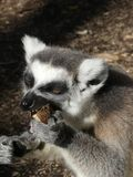 Cute Ringtailed Lemur Eating. Portrait of cute Ringtailed Lemur with big fluffy ears, enjoying eating eating his lunch stock images