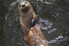 Really Cute River Otter Floating On His Back Royalty Free Stock Images