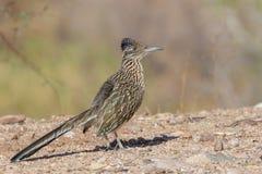 Cute Roadrunner in the Desert stock images