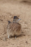 Cute Roadrunner Head On Royalty Free Stock Photography