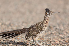 Cute Roadrunner Royalty Free Stock Images