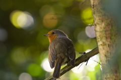 Cute robin royalty free stock photo
