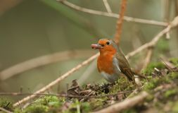A pretty Robin, Erithacus rubecula, eating an earthworm that it has caught in the undergrowth at the edge of a wooded area. A cute Robin, Erithacus rubecula stock photo