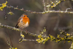 Cute Robin Erithacus Rubecula perched on Branch. In British Countryside Royalty Free Stock Photos