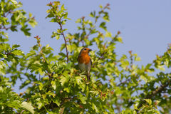 Cute Robin Erithacus Rubecula perched on Branch. In British Countryside Stock Photography