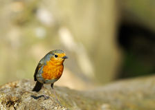 Cute robin redbreast Stock Images