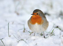 Cute robin on snow in winter stock photos
