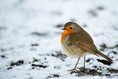 Cute robin on snow in winter Stock Photography