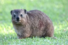Cute Rock Hyrax Animal Stock Images