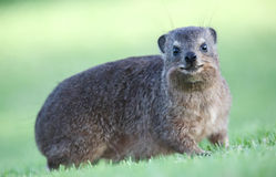 Cute Rock Hyrax Animal Stock Image