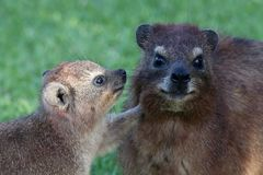 Cute Rock Hyrax Mother and Baby Royalty Free Stock Images