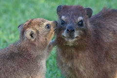 Cute Rock Hyrax Mother and Baby royalty free stock photo