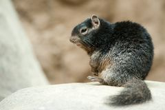 Cute Rock squirrel Royalty Free Stock Photos