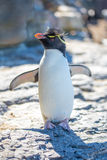 Cute Rockhopper Penguin Portrait Stock Photos