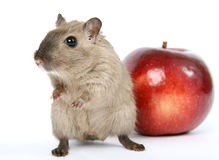 Cute rodent by Christmas decorations on snow white background Stock Photos