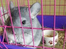 Adorable grey young chinchilla pet cage. Cute rodent domestic chinchilla portrait closeup cage Royalty Free Stock Photo