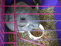 Grey chinchilla eating  top view cage Stock Photos
