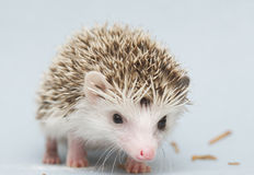 Cute rodent hedgehog baby atelerix albiventris background Stock Image