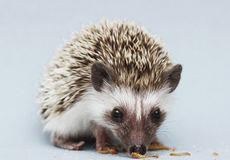 Cute rodent hedgehog baby atelerix albiventris background.  Royalty Free Stock Photo