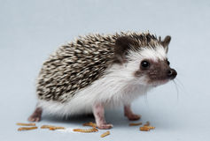 Cute rodent hedgehog baby atelerix albiventris background Stock Photography
