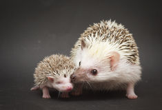 Cute rodent hedgehog love with baby. Atelerix albiventris Royalty Free Stock Photos
