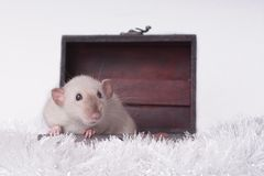Cute rodent sit in a open suitcase and look sideways. Cute dumbo rat sit in a open suitcase and look sideways Royalty Free Stock Image