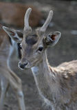 The cute roe deer close up portrait Royalty Free Stock Photography