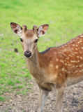 The cute roe deer close up portrait Royalty Free Stock Images